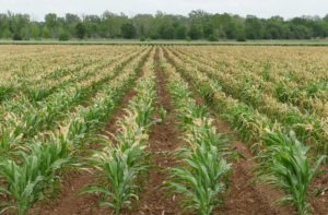 Uganda land with maize crops being grown in a field